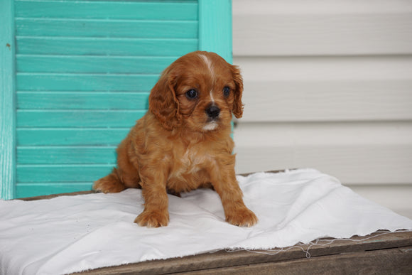 AKC Registered Cavalier King Charles Spaniel For Sale Holmesville OH Male- Lonnie