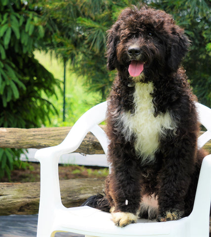 Mini Bernedoodle For Sale Fredericksburg, OH Female- Holly