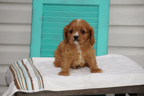 AKC Registered Cavalier King Charles Spaniel For Sale Holmesville OH Male- Lyle