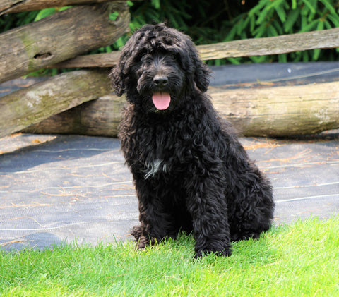 Goldendoodle For Sale Fredericksburg, OH Female- Surf