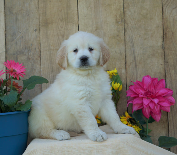 AKC Registered Golden Retriever For Sale Wooster, OH Female- Sally