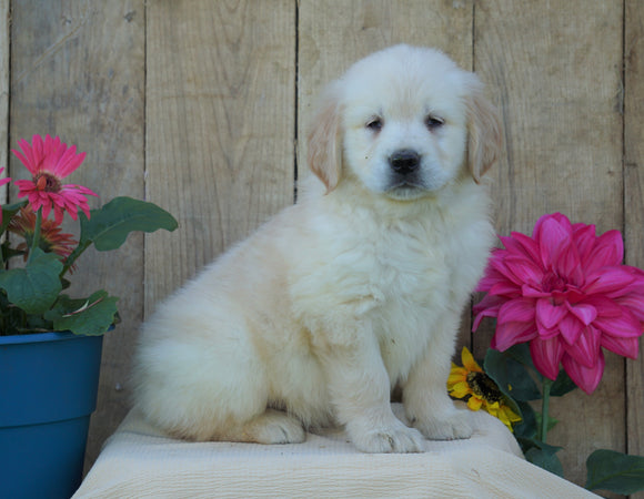 AKC Registered Golden Retriever For Sale Wooster, OH Female- Sherry
