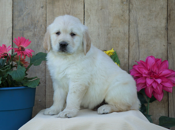 AKC Registered Golden Retriever For Sale Wooster, OH Male- Sam