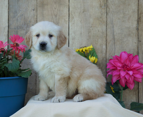 AKC Registered Golden Retriever For Sale Wooster, OH Male- Star