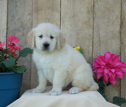 AKC Registered Golden Retriever For Sale Wooster, OH Male- Solo