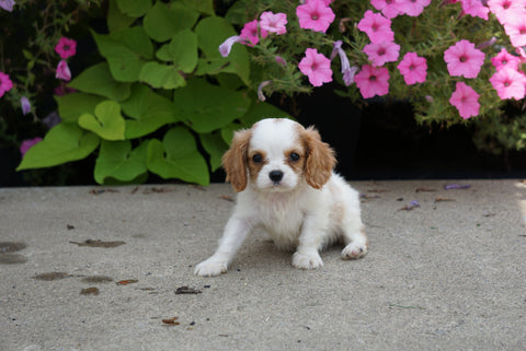 AKC Cavalier King Charles Spaniel For Sale Millersburg OH Female- Queenie