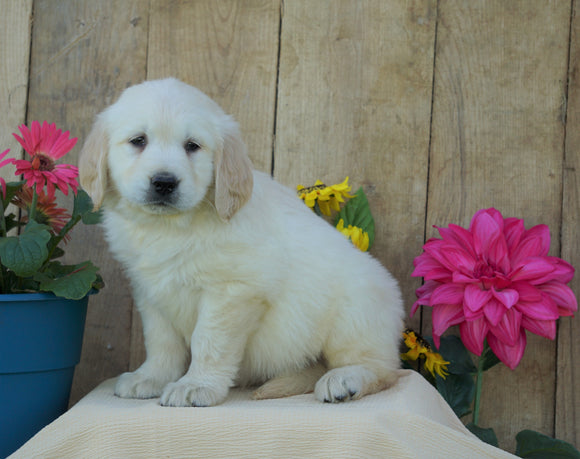 AKC Registered Golden Retriever For Sale Wooster, OH Male- Stan