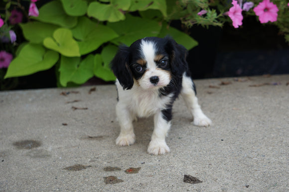 AKC Cavalier King Charles Spaniel For Sale Millersburg OH Male- Austin