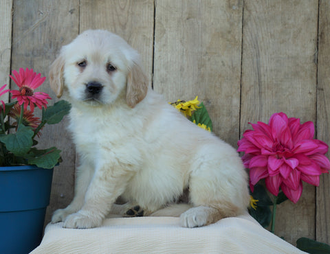 AKC Registered Golden Retriever For Sale Wooster, OH Male- Stamp