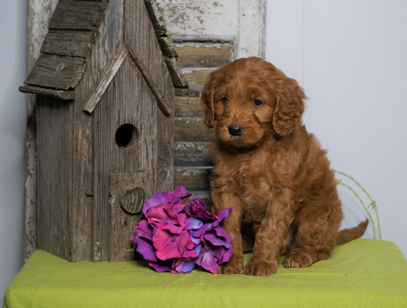 Mini F1B Labradoodle For Sale Millersburg, OH Female- Happy