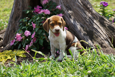 Beagle Puppy For Sale Fredericktown OH Female- Rosie