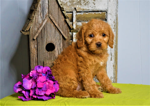 Mini F1B Labradoodle For Sale Millersburg, OH Female- Helen
