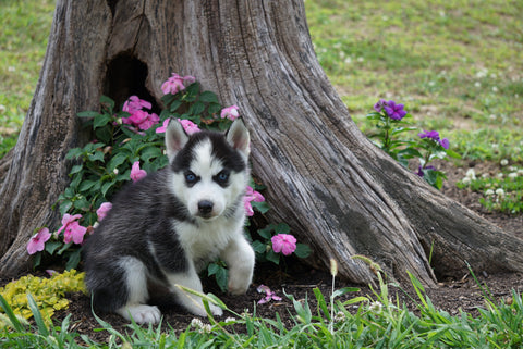Siberian Husky For Sale Fredericktown OH Male- Blaze