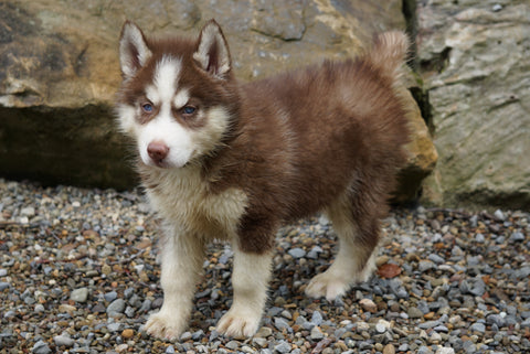 Siberian Husky For Sale Dundee OH Male- Ford