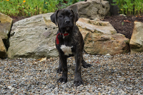 ICA Registered Boerboel Puppy For Sale Dundee OH Female Queen
