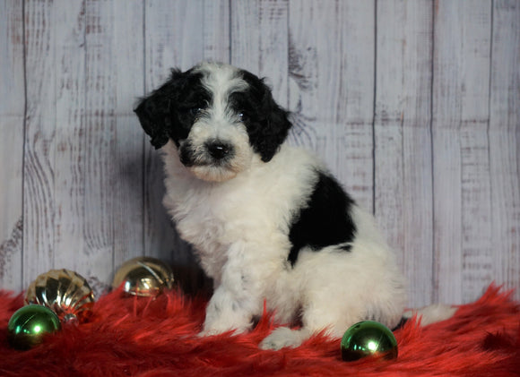 F1B Mini Sheepadoodle For Sale Wooster, OH Female- Riley