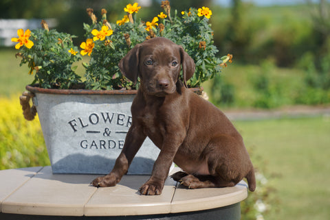 Male German Shorthaired Pointer
