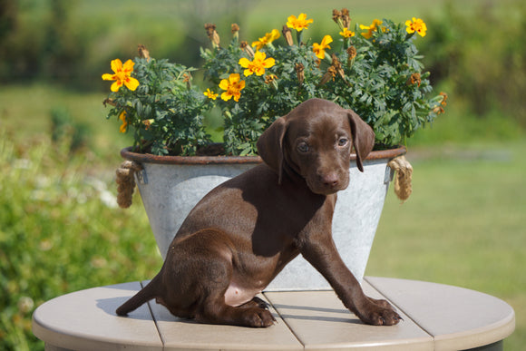 AKC Registered German Shorthaired Pointer For Sale Millersburg OH Female- Lily