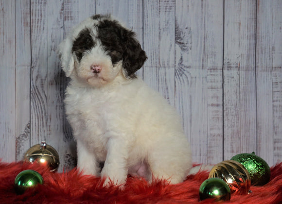 F1B Mini Sheepadoodle For Sale Wooster, OH Female- Lexi