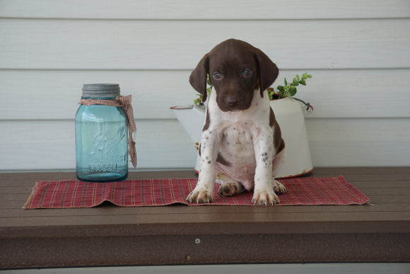 AKC German Shorthaired Pointer For Sale Millersburg OH Male- Duke