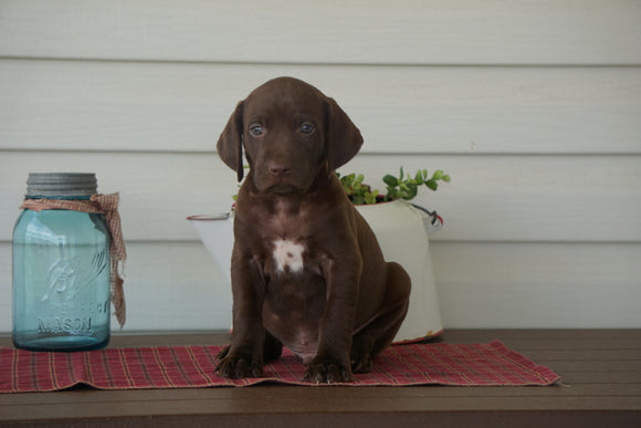 AKC Registered German Shorthaired Pointer For Sale Millersburg OH Male- Cooper