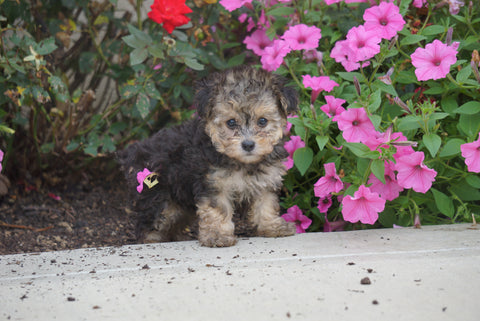 Yorkipoo For Sale Dundee OH Female- Tiny