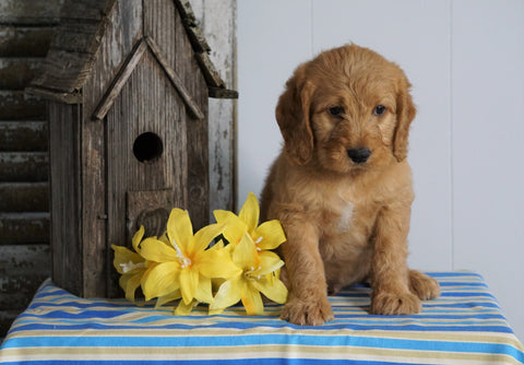 Mini F1B Labradoodle For Sale Millersburg, OH Male- Ho-Ho