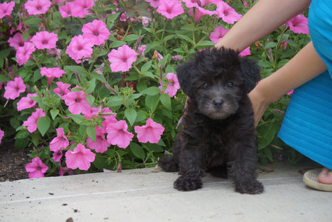 Yorkiepoo For Sale Dundee OH Male- Theo