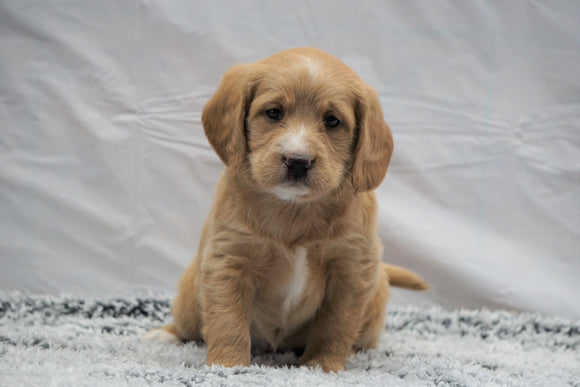 F1B Mini Labradoodle For Sale Fresno, OH Female- Daisy