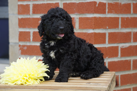 Mini Bernedoodle For sale Fredericksburg OH Male- Rover