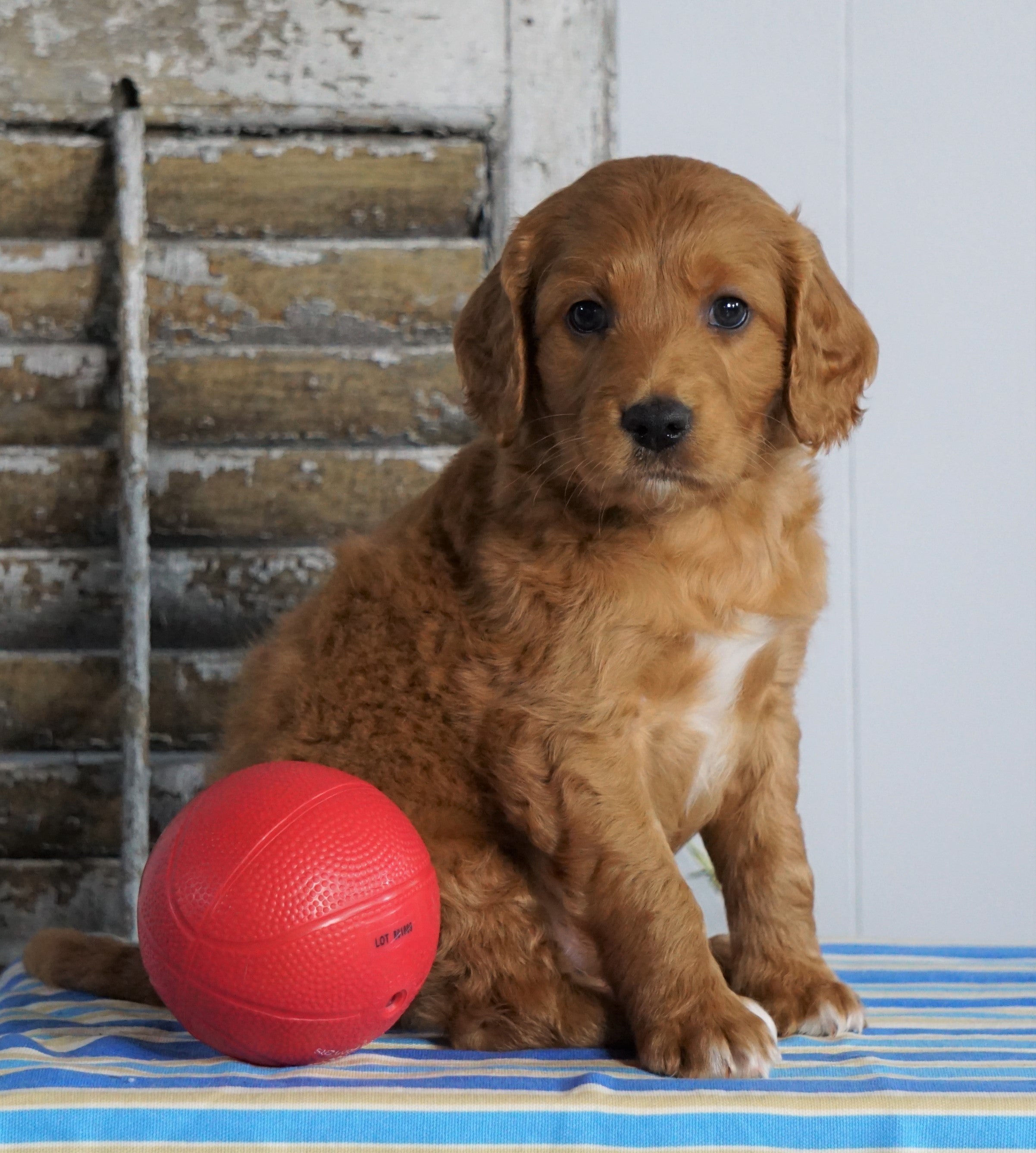 Mini F1B Labradoodle For Sale Millersburg, OH Male- Harley