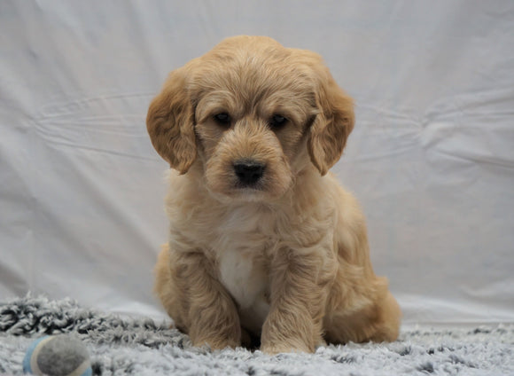 F1B Mini Labradoodle For Sale Fresno, OH Male- Buddy