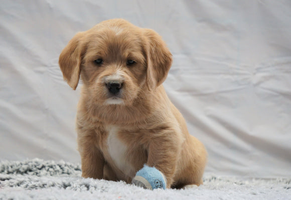 F1B Mini Labradoodle For Sale Fresno, OH Female- Bella