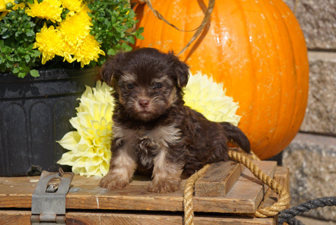 AKC Registered Havanese For Sale Fredericksburg OH Male- Pinto