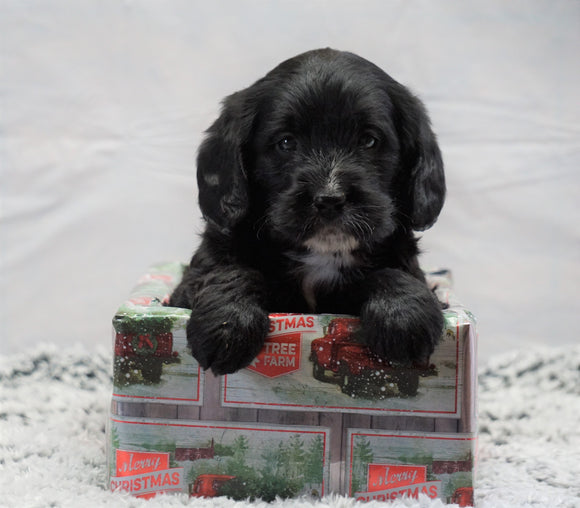 F1B Mini Labradoodle For Sale Fresno, OH Female- Oreo