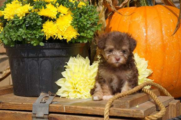 AKC Registered Havanese For Sale Fredericksburg OH Male- Perry