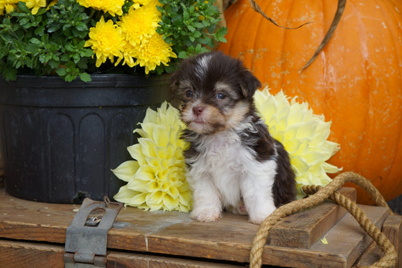 AKC Registered Havanese For Sale Fredericksburg OH Male- Piper