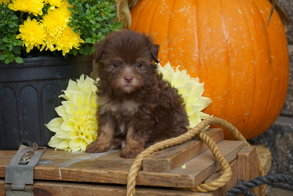AKC Registered Havanese For Sale Fredericksburg OH Male- Peanut