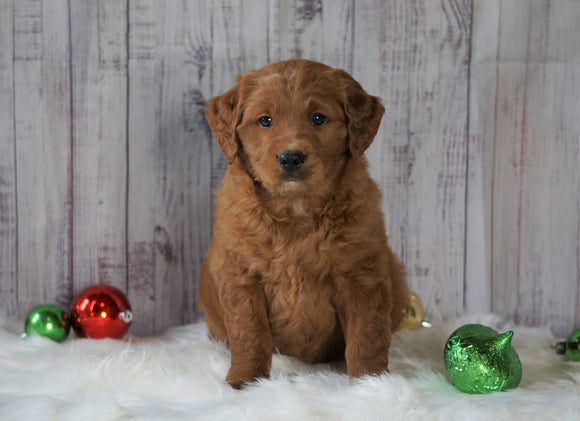 Mini Goldendoodle For Sale Millersburg, OH Male- Chase