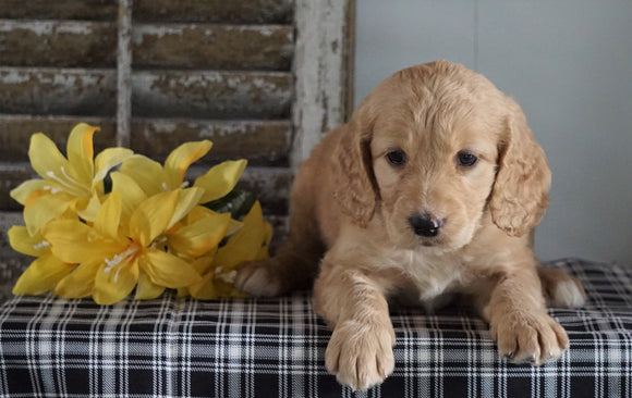Mini F1B Labradoodle For Sale Millersburg, OH Male- Harry