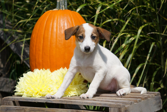 Jack Russel Terrier Mix For Sale Fredericksburg OH Female- Sammy