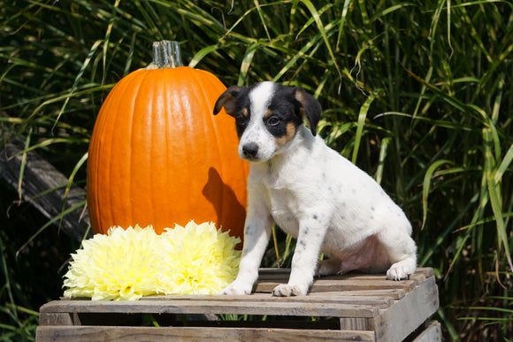 Jack Russel Terrier Mix For Sale Fredericksburg OH Male- Sailor