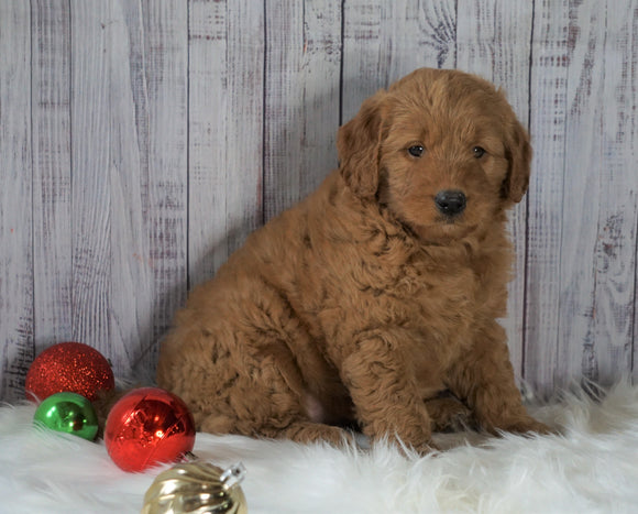 Mini Goldendoodle For Sale Millersburg, OH Female- Rosie
