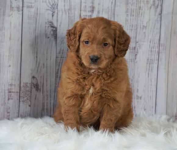 Mini Goldendoodle For Sale Millersburg, OH Female- Oakley