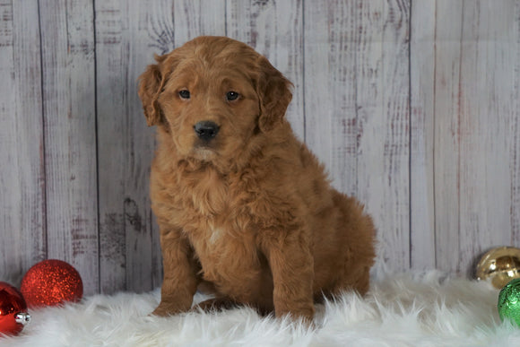 Mini Goldendoodle For Sale Millersburg, OH Male- Wilson