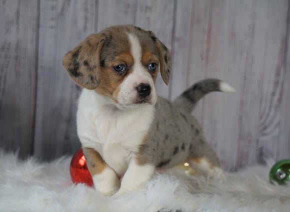 Beagle Mix Puppy For Sale Millersburg, OH Female- Holly