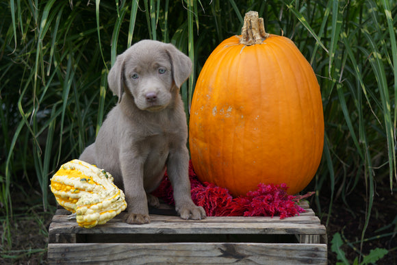 AKC Registered Labrador Retriever- Silver For Sale Fredericksburg OH Female- Lacey