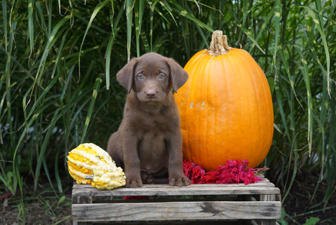 AKC Registered Labrador Retriever For Sale Fredericksburg OH Male- Leo