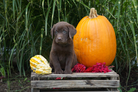 AKC Registered Labrador Retriever For Sale Fredericksburg OH Male- Louie
