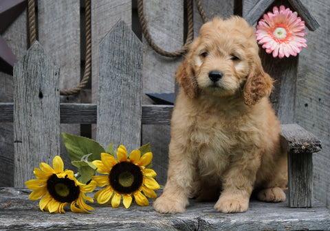 Mini Goldendoodle For Sale Fredericksburg, OH Male- Simber